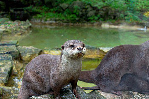 Otter, Whiskers, Water, Animal, Nature, Wildlife, Fur