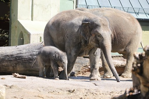 Elephant, Young, Baby Elephant, Mammal, Animal
