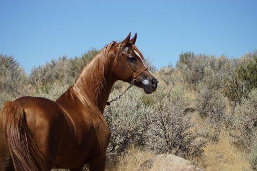 Arabian, Horse, Desert, Sage Brush, Mountain, Animal