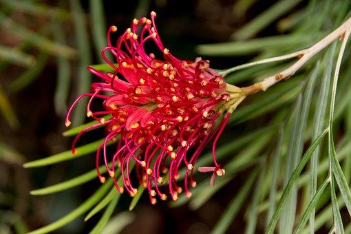 Grevillea, Flower, Australian, Native, Red, Yellow
