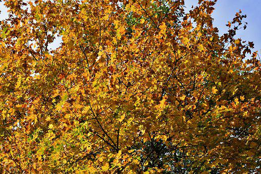Fall Colors, Autumn Leaves, Tree, Autumn, October