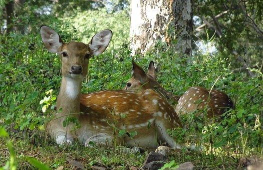 Spotted Deer, Chital, Doe, Female, Axis Axis, Deer
