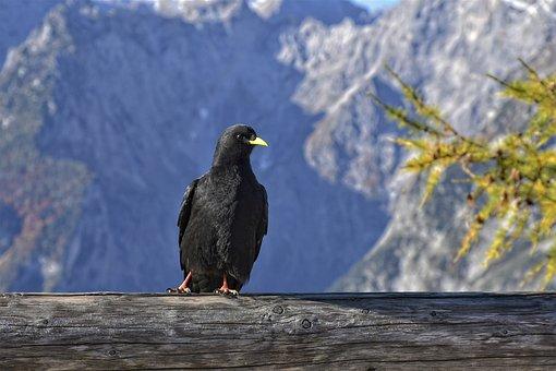 Jackdaw, Raven Bird, Bird, Bill, Black, Plumage