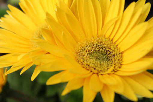 Yellow, Flowers, Close-up, Sunflower, Nature, Bloom