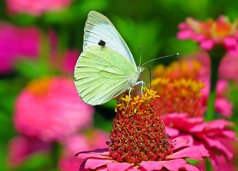 Butterfly, Insect, Bielinek, Nature, Macro, Wings