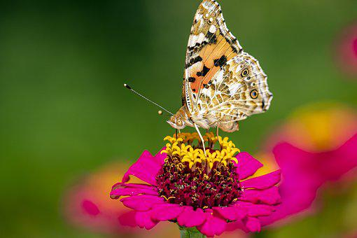 Summer, Outdoors, Butterfly, Wings, Painted Lady