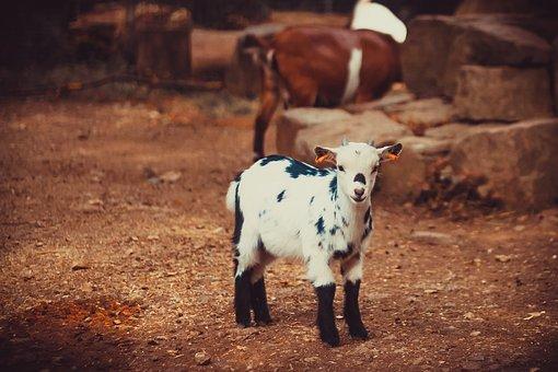 Goat, Aries, Livestock, Petting Zoo, Goats, Capricorn