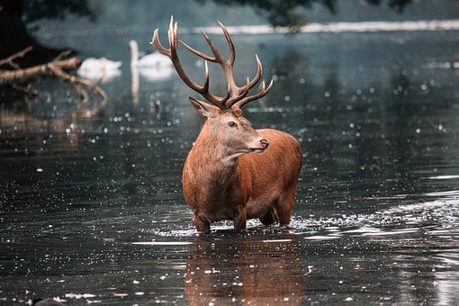 Red Deer, Stag, Deer, Nature, Wildlife, Wild, Antlers
