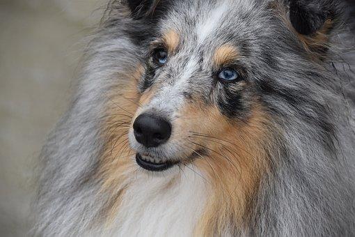 Dog, Shetland Sheepdog, Pup, Dog Portrait, Next Dog