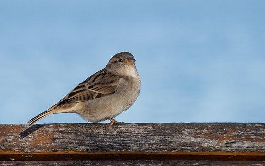 Sparrow, Bird, Sperling, Animal, Animal World, Feather