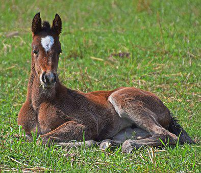 Foal, Filly, Colt, Horse, Mare, Animal, Equine, Pasture