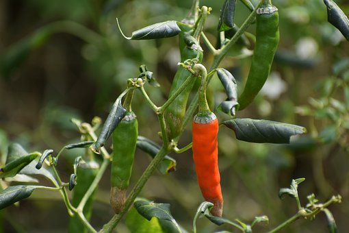 Chili, Fruit, Plant, Red, Healthy, Hot, Vegetables