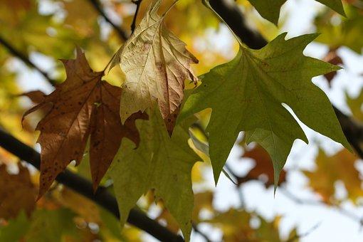 Maple, Foliage, Nature, Autumn, Color, Green, Letter