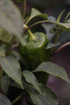 Pepper, Vegetable Garden, Vegetables, Food, Harvest