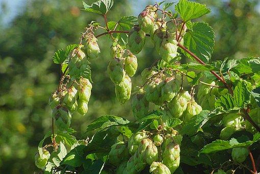 Hop, Hops Grapes, Green, Color, The Buds, Nature, Leaf