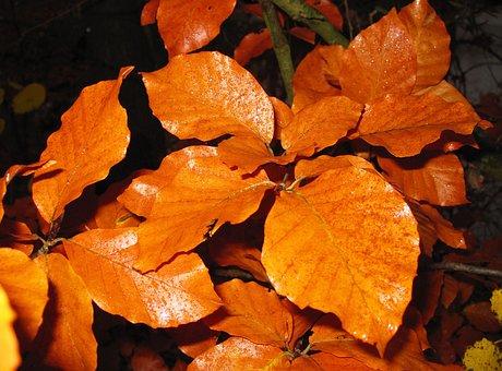 Beech Leaves, Fall Foliage, Autumn Colours, Hornbeam