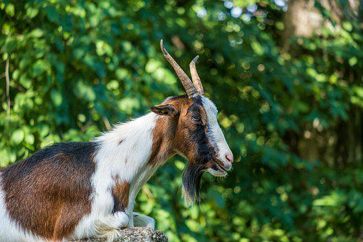 Billy Goat, Animal, Horns, Livestock, Domestic Goat