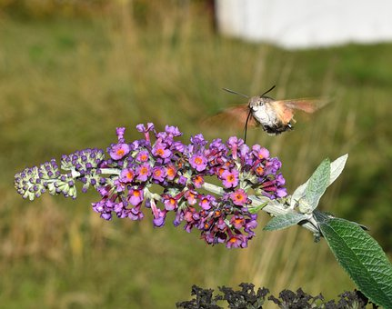 Hummingbird Hawk Moth, Butterfly, Insect