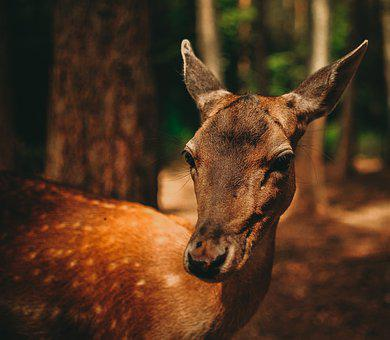 Roe Deer, Fawn, Fallow Deer, Kitz, Zoo, Bambi