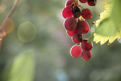 Grapes, Light, Autumn Theme, Sun Rays, Leaf, Grape