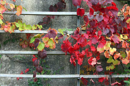 Autumn, Fall Foliage, Ornamental Wine, Leaves, Nature