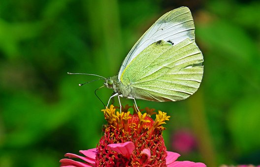 Butterfly, Insect, Nature, Macro, Flowers, Wings
