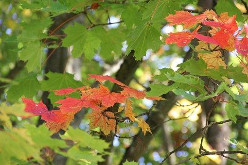 Maple Leaves, Autumn Colours, Colorful, Branch