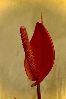 Anturio, Natural, Garden, Ramo, Plant, Flowers