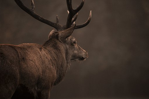 Red Deer, Stag, Nature, Deer, Wildlife, Antlers, Animal