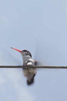 Hummingbird, Ave, Nature, Animals, Wings, Small, Pen