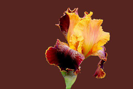 Iris, Yellow And Purple, Plants, Flowers, Spring
