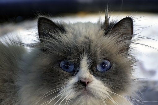 Ragdoll, Cat, Look, Mammal, Nice, Fluffy, Eyes, Kitty