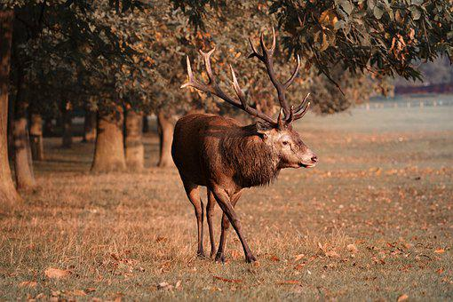 Red Deer, Stag, Deer, Nature, Wildlife, Antlers, Wild