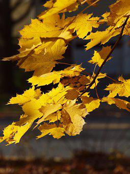 Sunlit, Leaves, Yellow Leaves, Fall, Autumn, Peaceful
