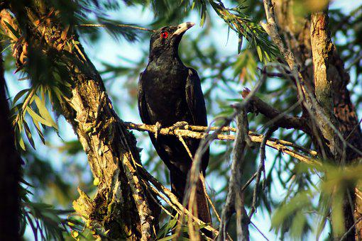 Koel Juvenile Male, Wild, Bird, Wildlife, Outdoor, Tree