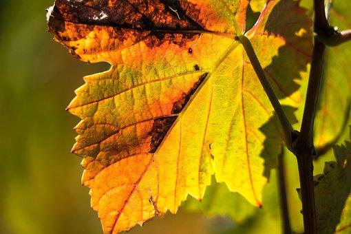 Vine, Leaves, Wine, Rebstock, Vineyard, Vines