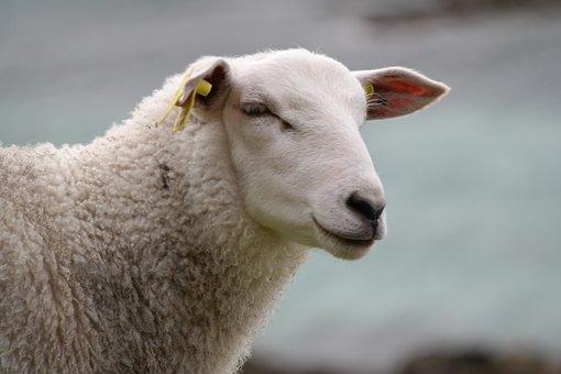 Sheep, Portrait, White, Blue, Nature, Animal