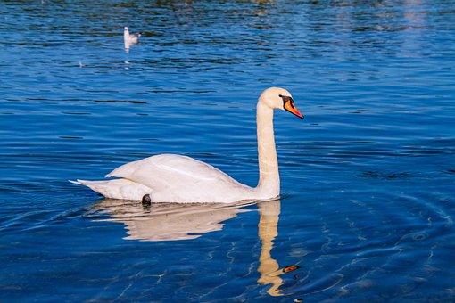 Swan, Animal, Water, Blue, Schwimmvogel, Pride, White