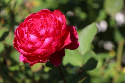 Autumn, Rose, Nature, Flower, Nostalgic, Rose Bloom