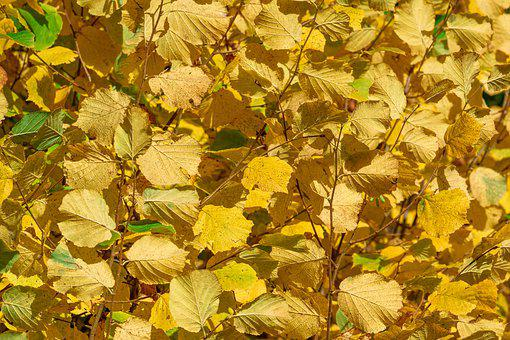 Leaves, Beech, Autumn, Branch, Coloring, October