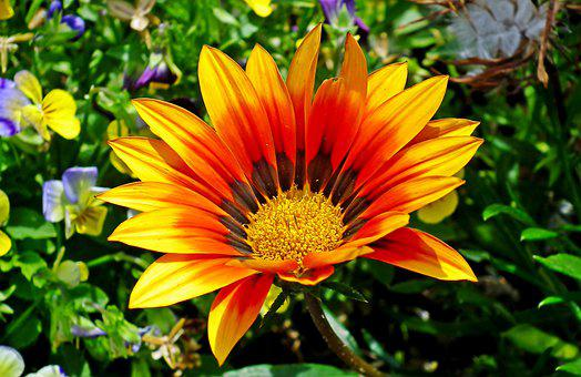 Gazania, Flower, Colored, Nature, Garden, Summer, Macro