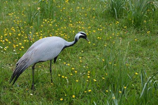 Nature, Bird, Crane