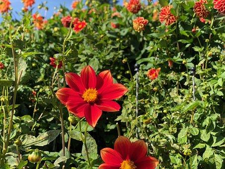 Mainau, Bodensee, Dahlien, Blumen, Blütenmeer, Dahlias