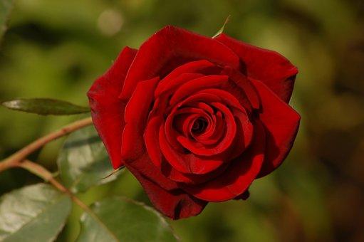 Rose, Flower, Red, Garden, Summer, Sunny, Day, Love