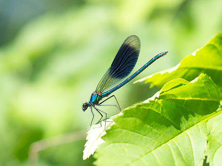 Dragonfly, Demoiselle, Insect, Animal World, Spreewald