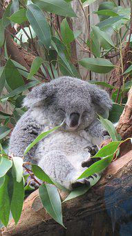 Koala, Bear, Sleep, Nap, Grey, Green, Eucalyptus, Tree