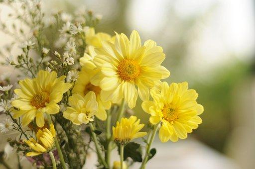 Yellow, Daisy, Flower, Bloom, Nature, Blossom