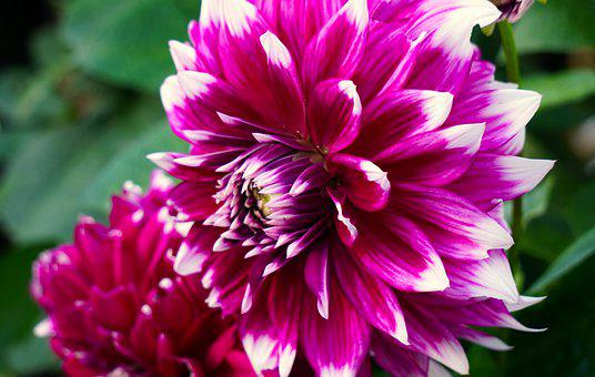 Dahlias, Blossom, Bloom, Flower, Nature, Flora