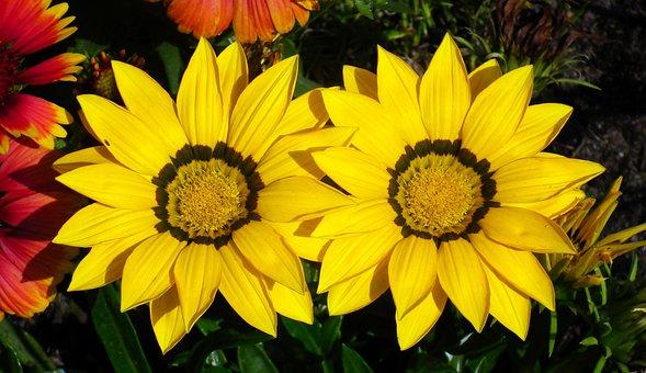 Gazanie, Flowers, Yellow, Summer, Nature, Macro