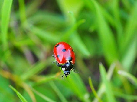 Ladybug, Beetle, Insect, Red, Points, Macro